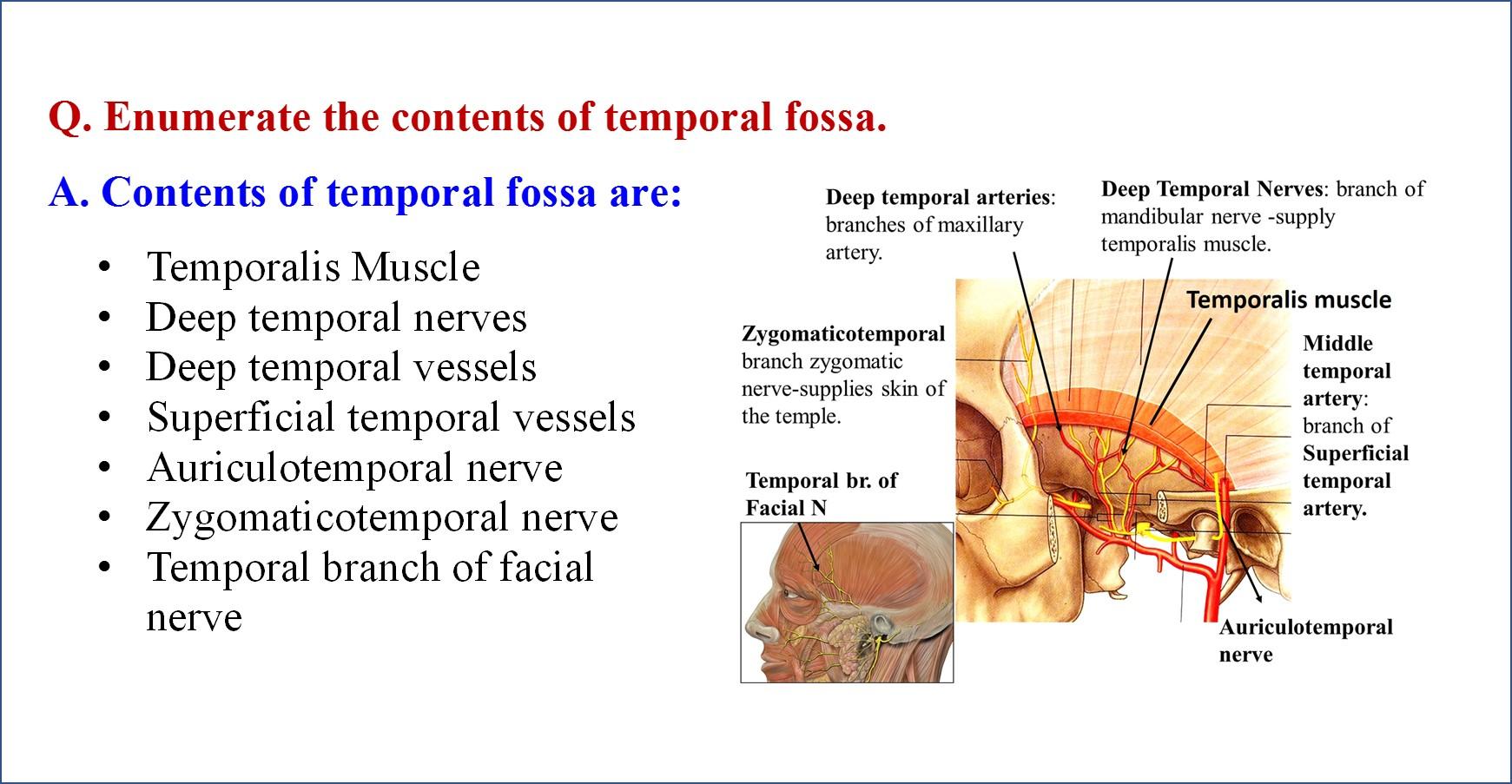 Nice Temporal Fossa Anatomy Collection Internal Organs Diagram
