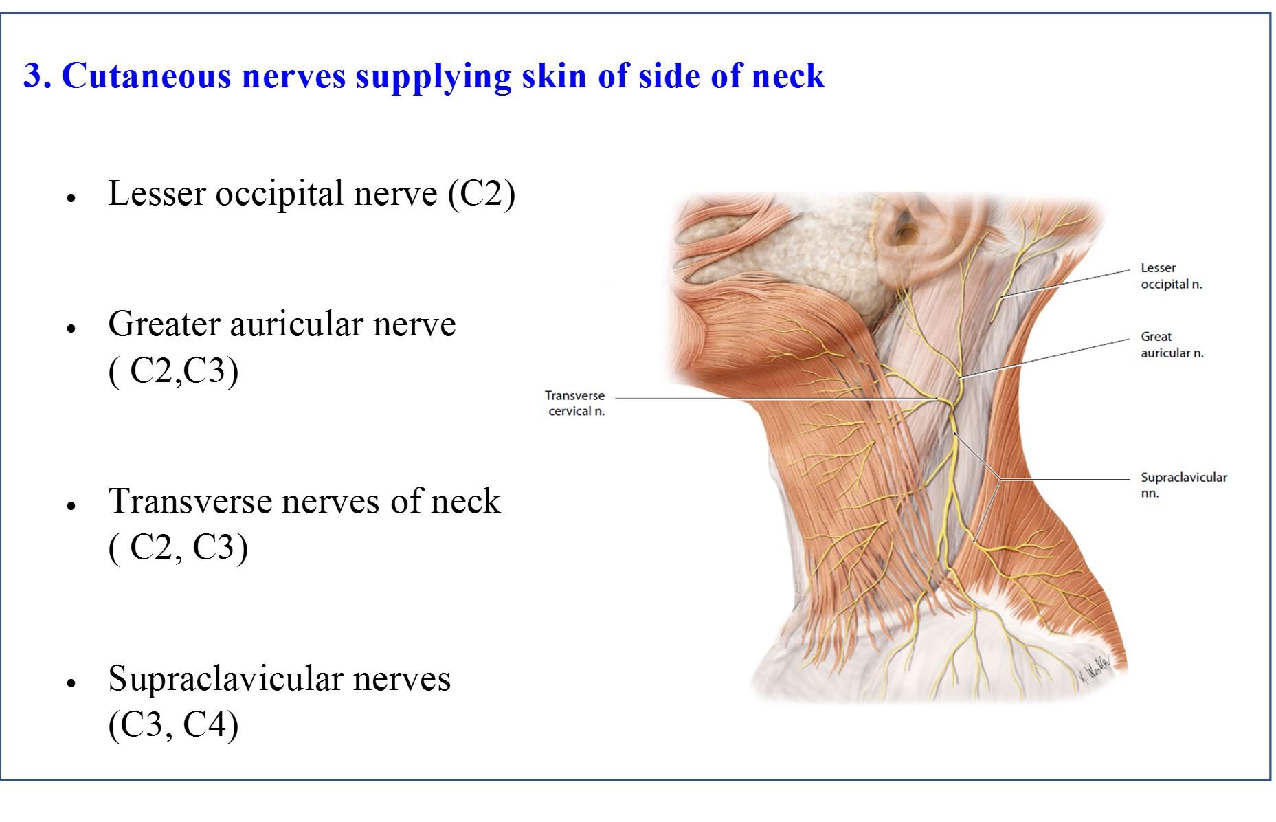 Triangles of neck anatomy