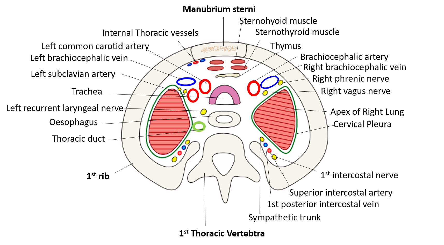 thoracic inlet diagram direct