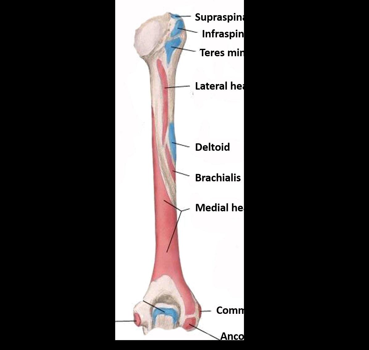 Humerus - Anatomy QA