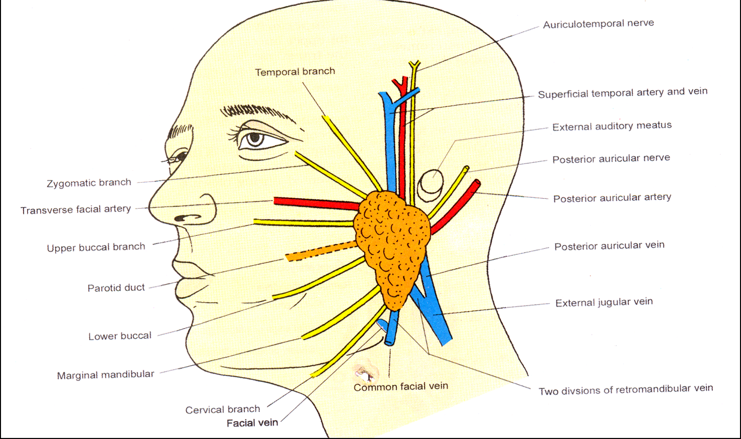 Auriculotemporal Nerve Related Keywords - Auriculotemporal ...