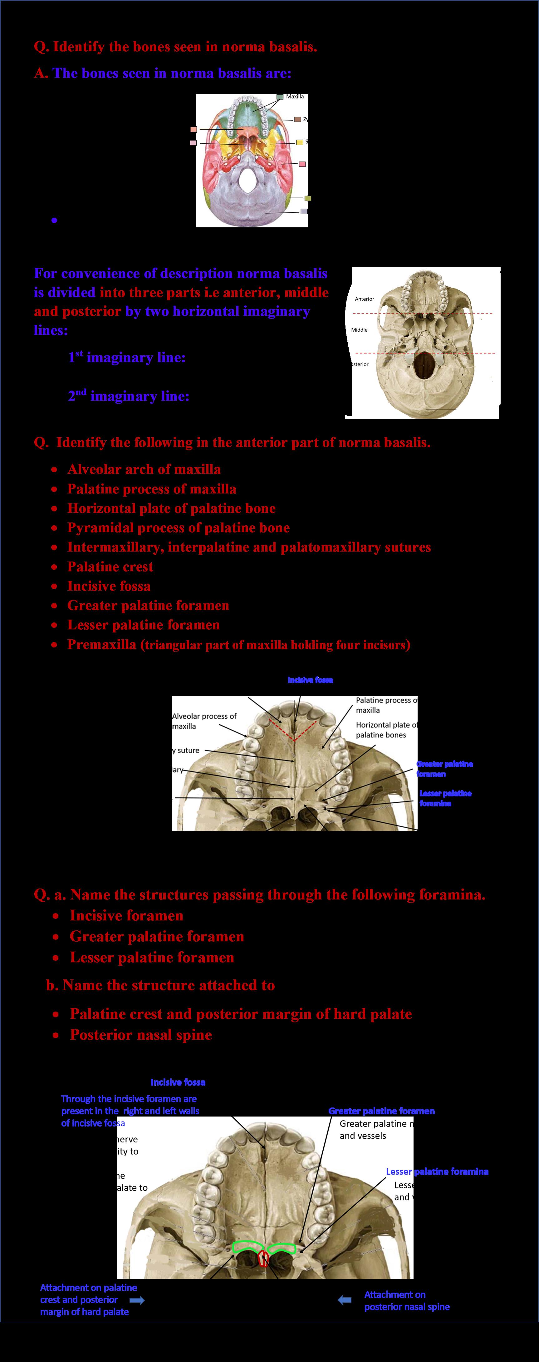 Skull - Norma Basalis - Anatomy QA