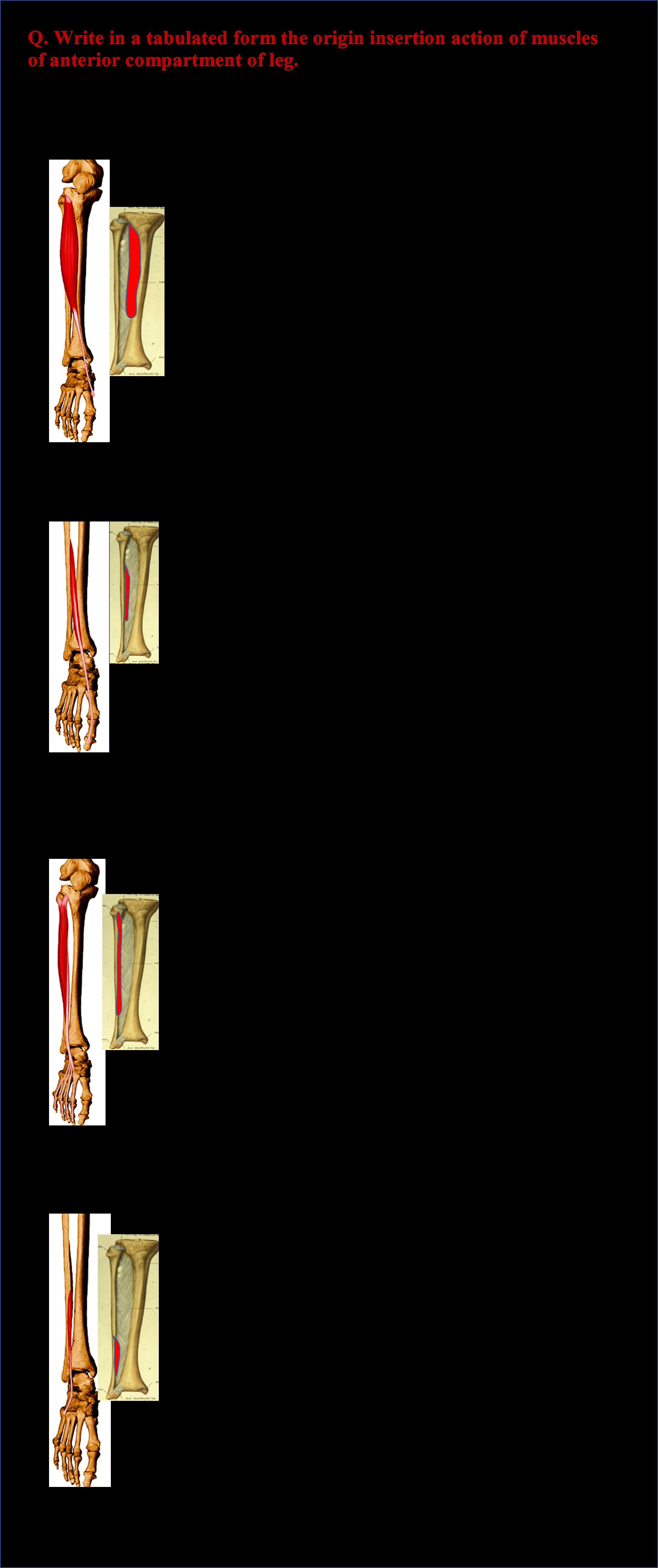 Posterior leg anatomy