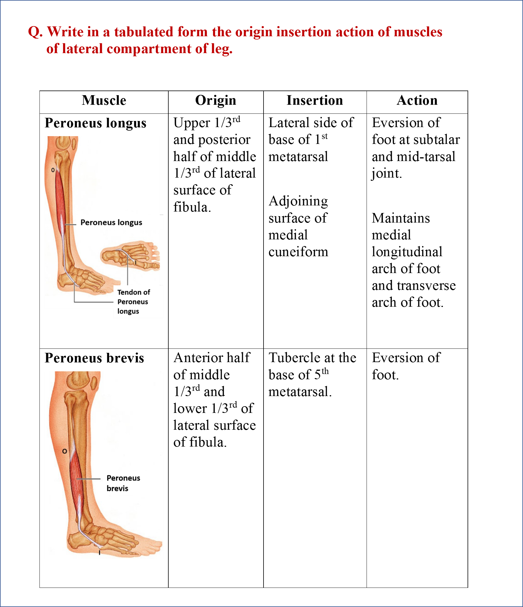 Anterior, Lateral And Posterior Compartments