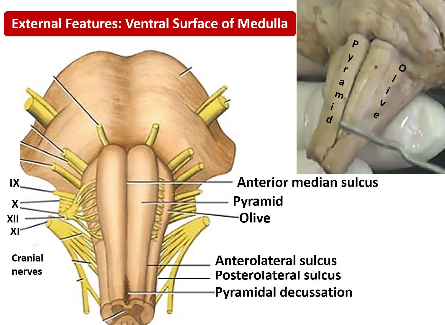 Medulla Oblongata Anatomy Qa