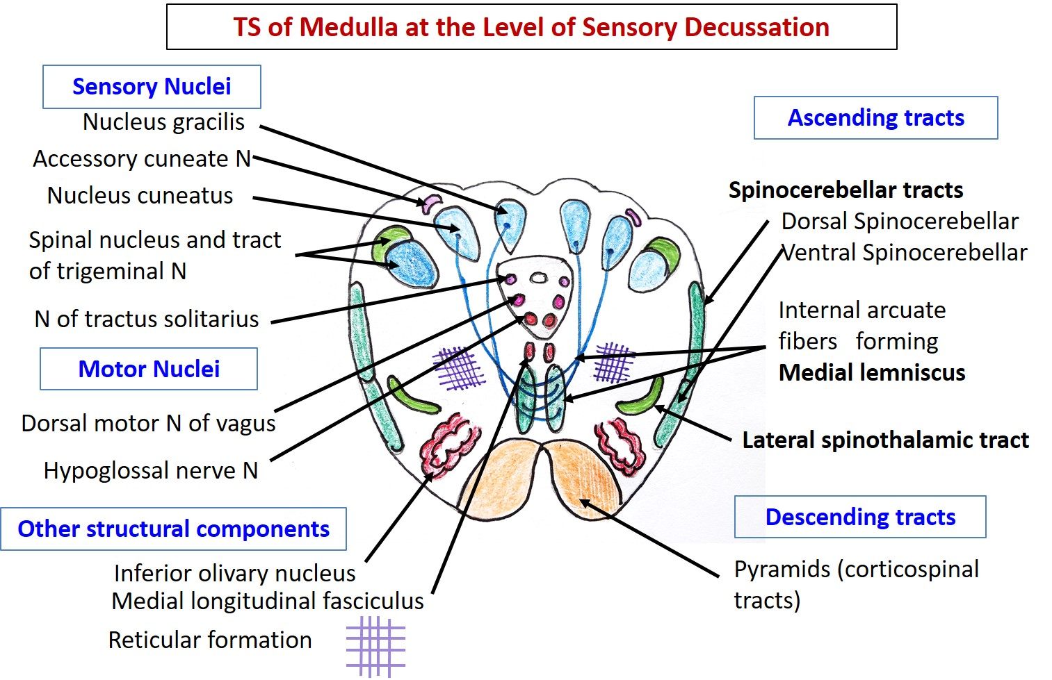 Medulla Oblongata - Anatomy QA